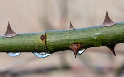WATERING THORNS